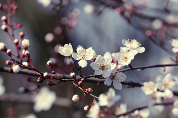 Blomstrende gren - A.Brask
